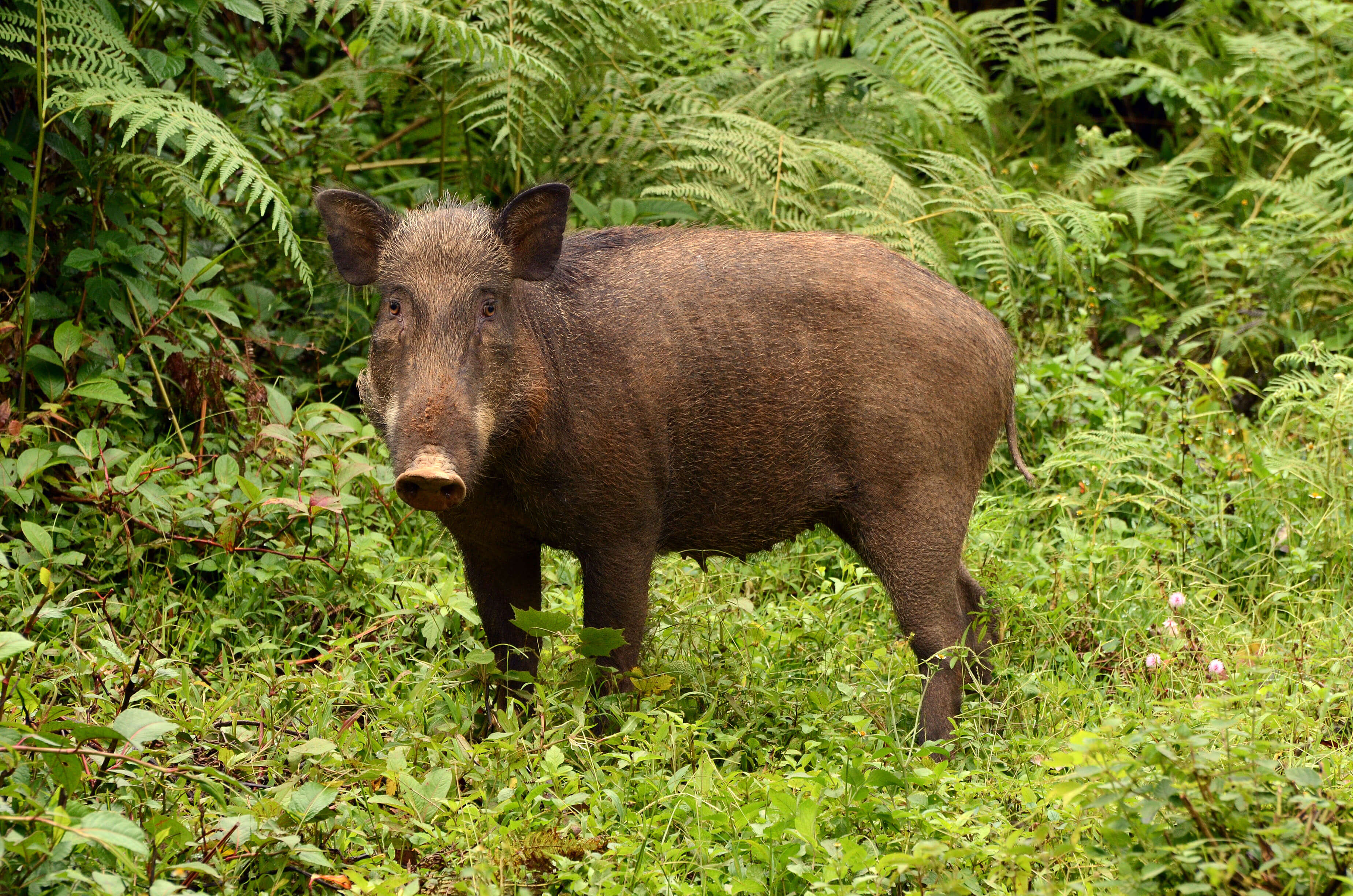 Go to Are you a wild pig?