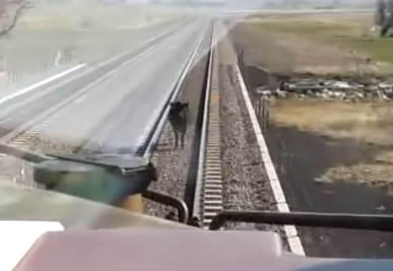 Go to Bovine Suicide? (video)