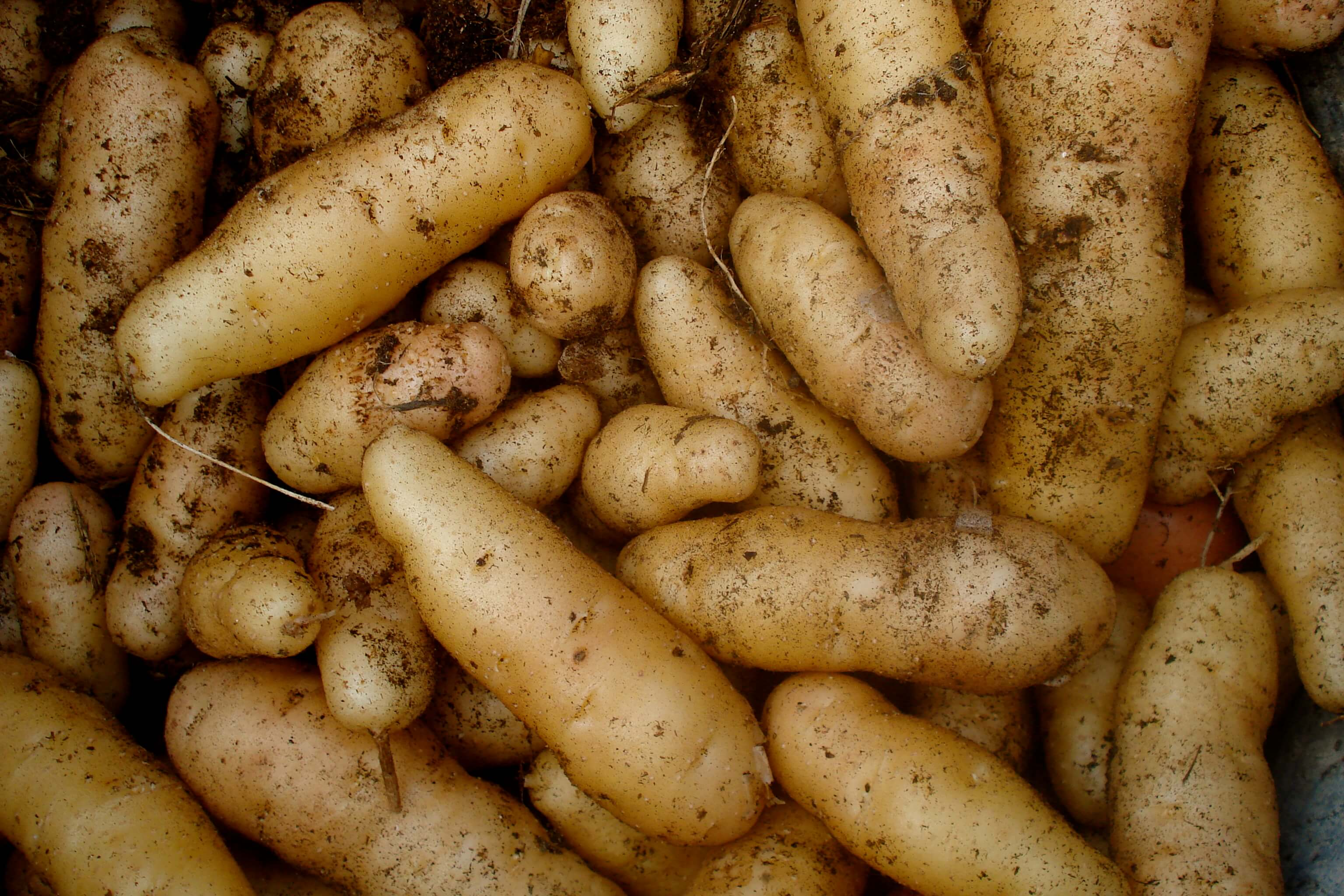 Go to How to Grow Potatoes for a Bounteous Harvest