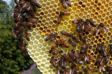 Top Bar Honey Comb, (cc) unclejojo, https://www.flickr.com/photos/unclejojo/5648610860/in/photolist-5gMg7u-7z9Ti6-7zdDjL-eQKWYZ-9B6Hha-CcN28-9B9B69-9B9AXJ-9B6HoH-9B9Bdq-fx9ZEq-9ucKrr-9ucE8n-6nGGQK-7S5Rwa-9D6G2b-9D3M4T-5gM1MQ